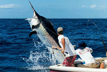A Thousand Pound Blue Marlin - Texas Gulf Coast Fishing